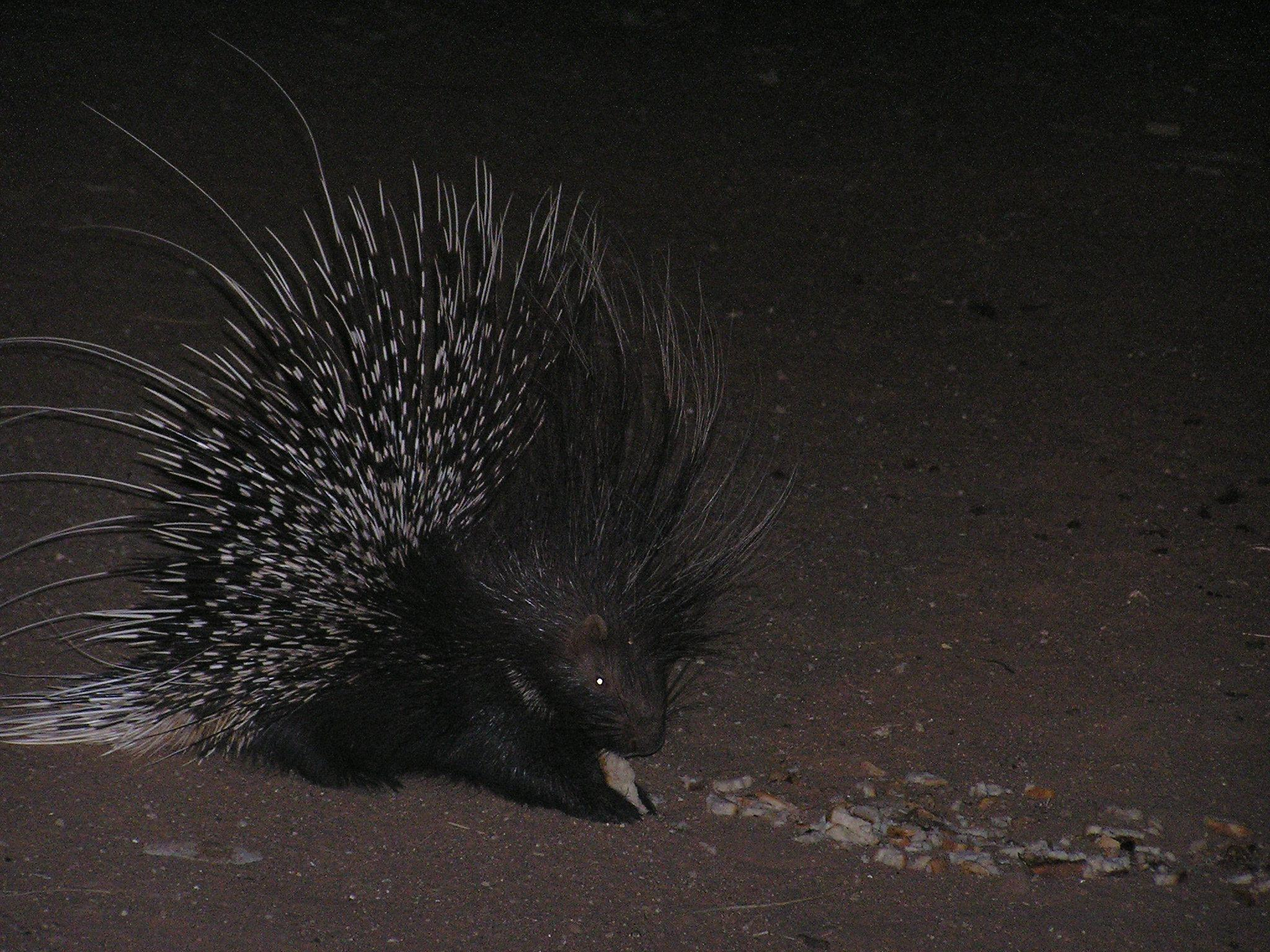 rodent and porcupine Home specialty animals  african porcupine: hunting african porcupines the african porcupine (hystrix cristata), also known as the crested porcupine, is a species of rodent found in sub-saharan africa, and northern africa.