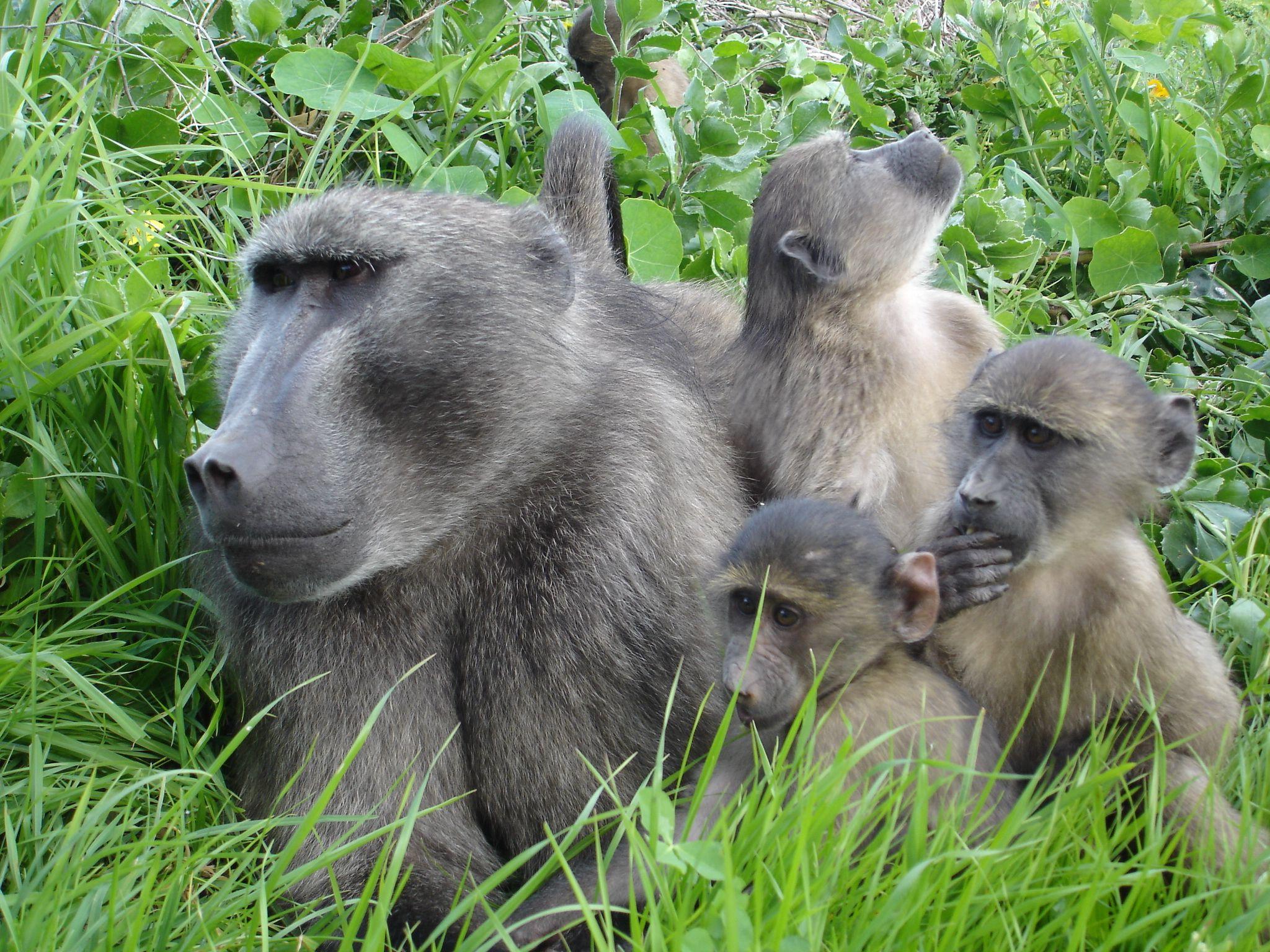 Chacma baboon - photo#3