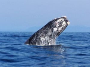 Whale breaching (D.Hurwitz)