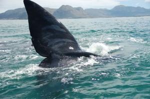 Whale Slapping (E. Sittig)