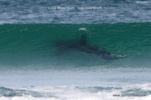 Shark At Fish Hoek (Image John Tinckler)