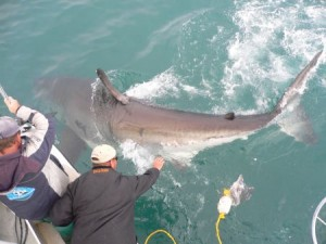 Shark Cage Diving in Gansbaai