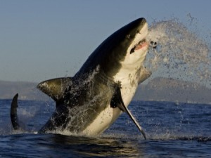 Great White Shark Breach False Bay (Chris Fallows)