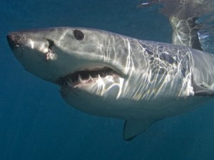 Great White Shark (Chris Fallows)