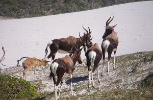 Bontebok (Photo: TMNP)