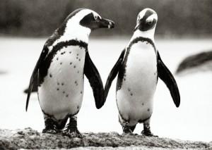 African Penguins ©Matthew Cargill
