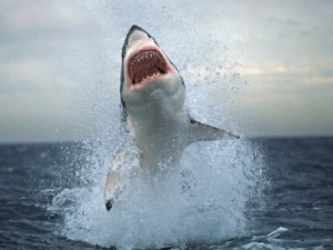 Breaching Great White Shark (photo: Chris Fallow)