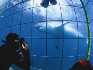 Great white Shark Diving (Photo: Apex Shark Expeditions)