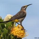Cape Sugarbird (John Tinkler)