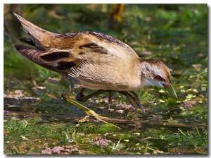 Little Crake: Google Images  © Basie van Zyl