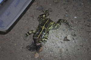 Dead Female Western Leopard Toad