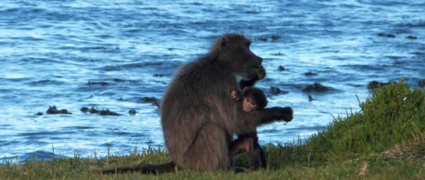 Baboons at Cape Point  (© Cape Point Trails)