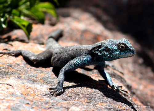 Lauren Maker - Cape Point Blue Headed Agama