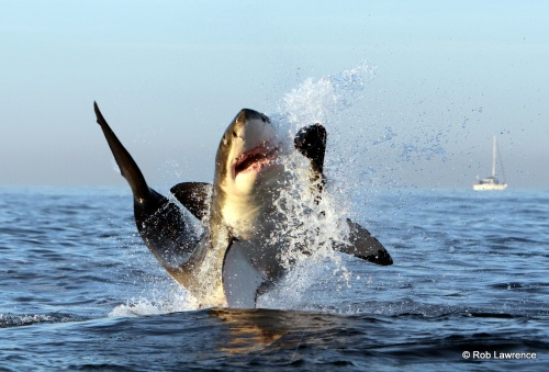 Rob Lawrence - Great White Shark