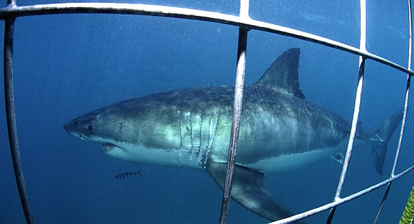 Shark Cage Diving © Geoff Spilby