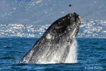 Southern Right Whale. Photo: D.Hurwitz 2012