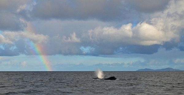 Typical False Bay Sighting - Humpback Whales. Photo: Cathy Withers-Clarke