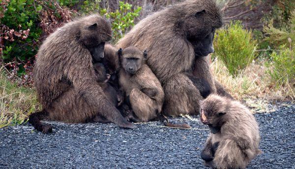 06 chacma baboons