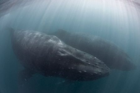Diving with Whales. Humpbacks under water. Photo: Tony Baskeyfield. Image courtesy of Pisces Divers
