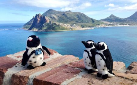 3 Pikkewyne enjoying scenery from Chapmans Peak Drive Photo Peter Haarhof