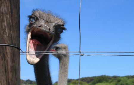 Cape Point Ostrich Farm Photo Google Images