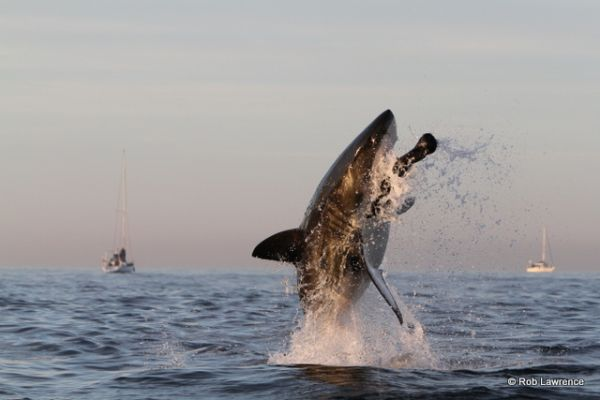 Flying Great White Shark - Photo Rob Lawrence