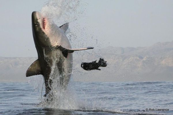 Massive Great White Breach at decoy Seal - Photo Rob Lawrence