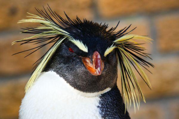 Rocky, Rockhoppe Penguin Photo: Francois Louw