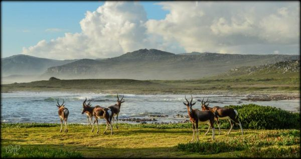 Bontebok at Cape Point: Photo WhatsThePoint