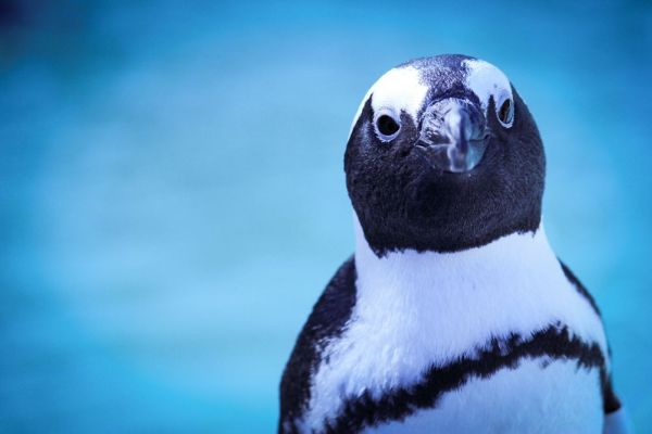African Penguin Awareness Day