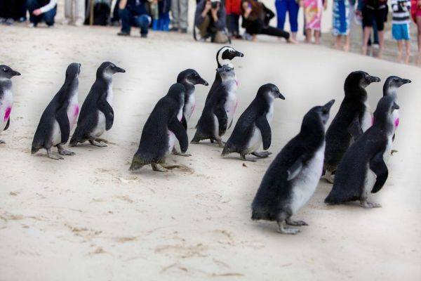 Penguin Beach Release - 11 October 2014