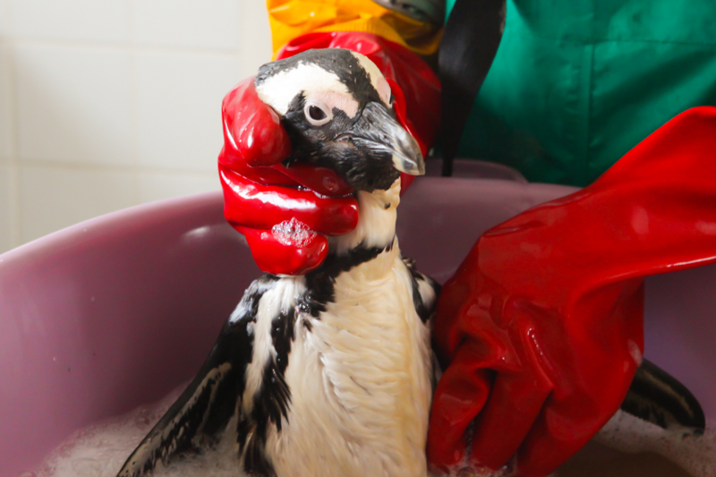 Washing Penguins. Photo: SANCCOB