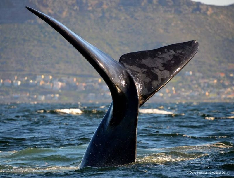 Southern Right Whale Tail. Photo: D.Hurwitz