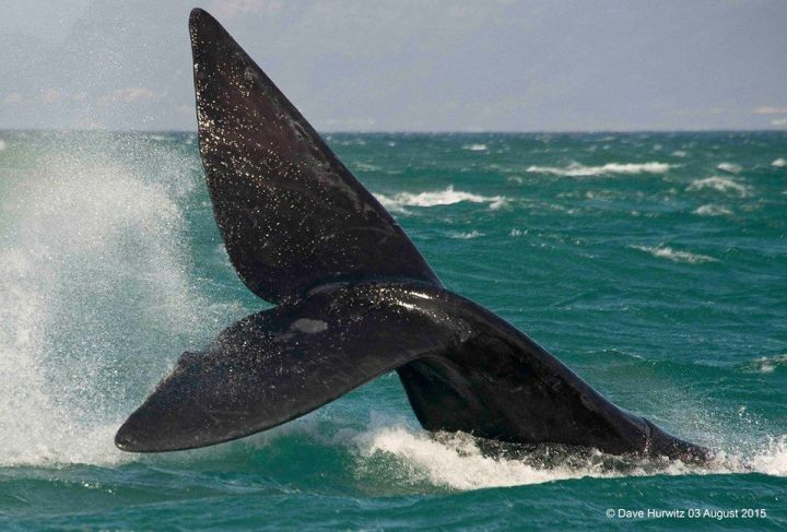 Southern Right Whale. Photo: D Hurwitz