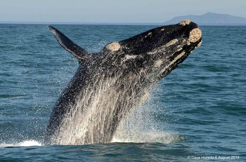 Southern Right Whale Photo: D. Hurwitz