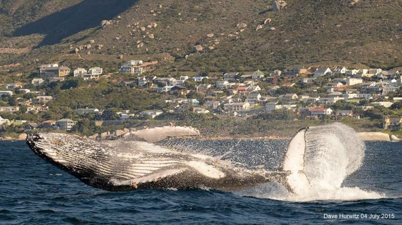 Humpback Whale Photo: D. Hurwitz