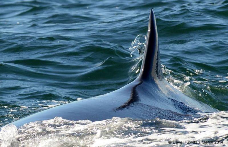 Brydes Whale  Photo: D. Hurwitz