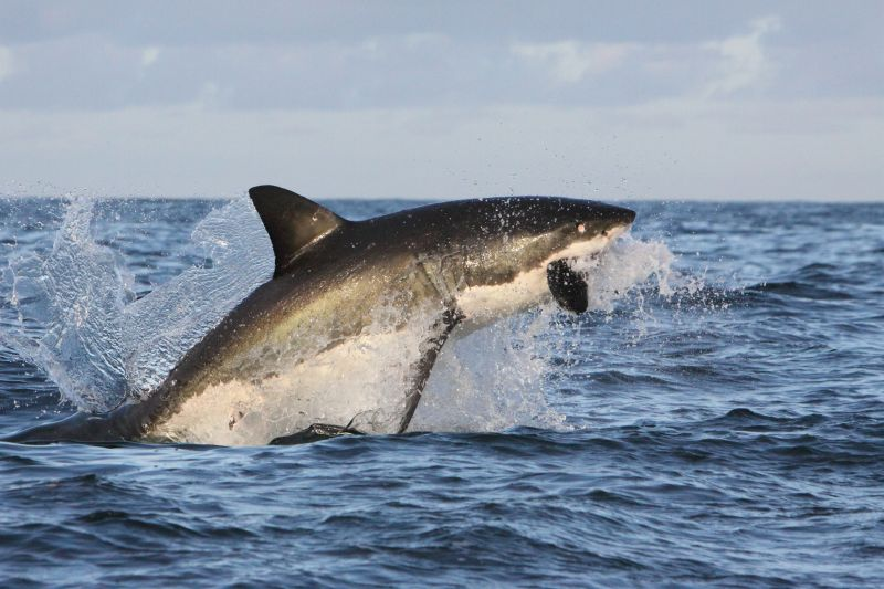 Flying Great White Shark of False Bay. Photo_ Rob Lawrence