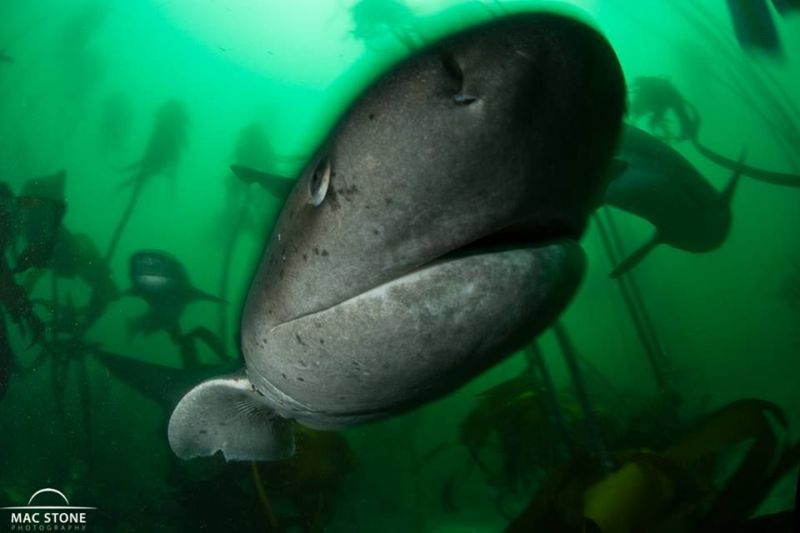 Seven Gill Cow Shark by Mac Stone