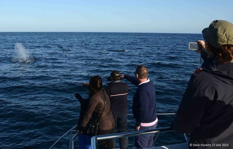 Many Brydes whales (unusual to have so many together) Photo D. Hurwitz