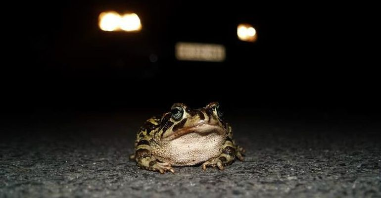 Western LeopardToad (Crossing the Road)