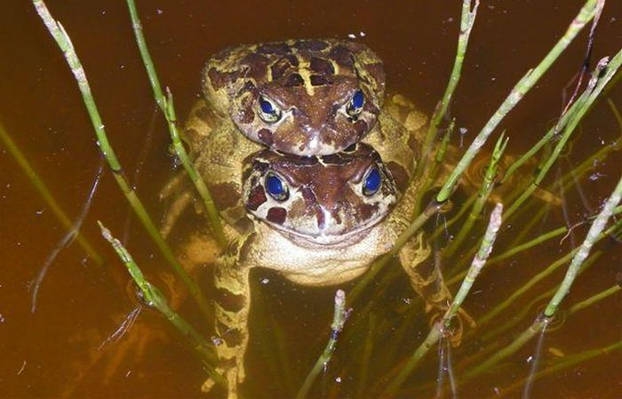 Western Leopard Toad (Amplexus Position)