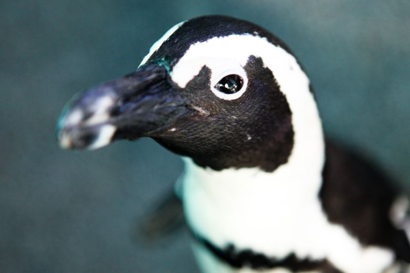 African Penguin. Photo: SANCCOB