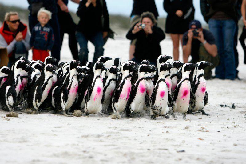 Penguin Release. SANCCOB