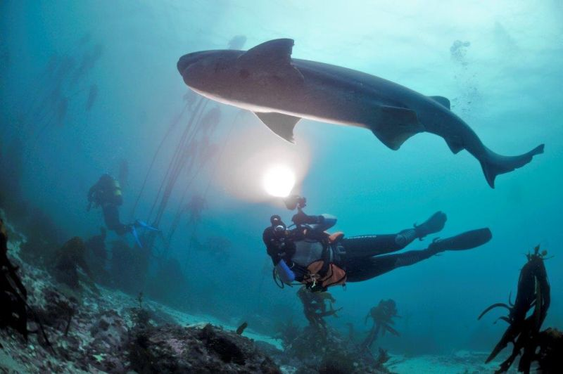 Seven Gill Cow Sharks, diving in Cape Town. Photo © Pisces Divers