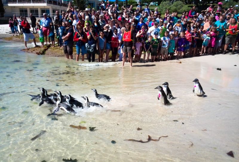 African Penguin Awareness Day 2014  ©Nick King