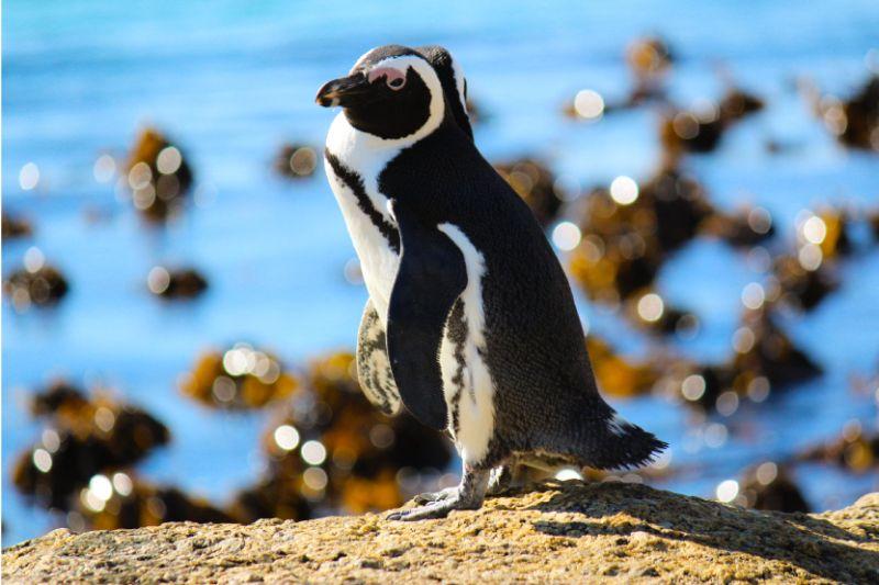 African Penguin ©Francois-Louw-SANCCOB
