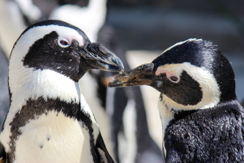 African Penguins. Photo: SANCCOB