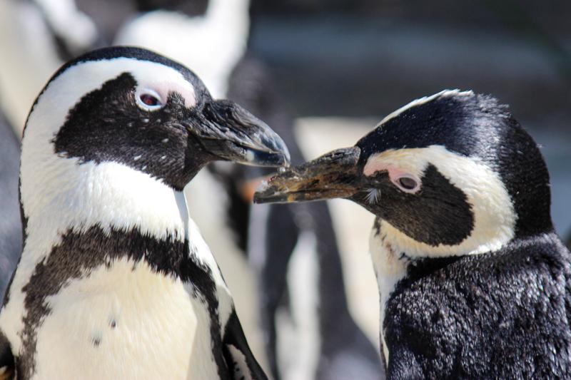 African Penguins. Photo: SANCCOB