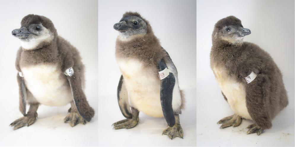Penguin Chicks Photo: SANCCOB